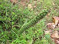 Sansevieria grandis in fruit (4403322542).jpg