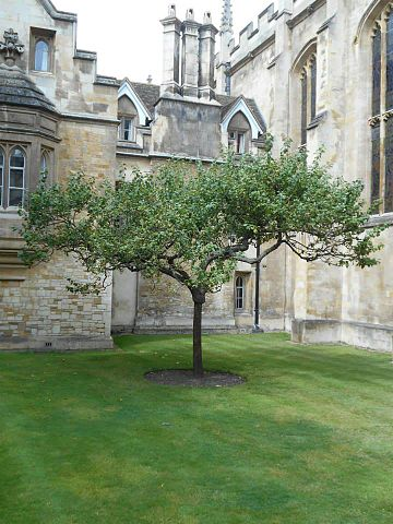 Descendent of Newton's apple tree at Trinity College, Cambridge