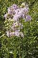 Saponaria officinalis-cv-fleurs-doubles vallee-de-grace-amiens 80 21072007 4.jpg