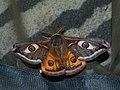 Saturnia pavonia ♂ - Emperor moth (male) - Малый ночной павлиний глаз (самец) (41234179351).jpg