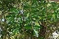 Sausage Tree (Kigelia africana) leaves (16463301755).jpg