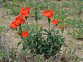 Save Crossandra (Crossandra mucronata) (12010688733).jpg