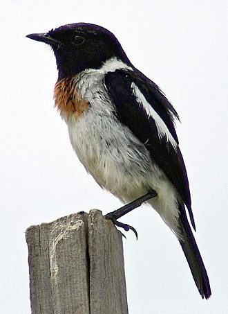 African stonechat - Adult male S. t. axillaris from Kenya