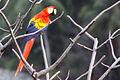 Scarlet macaw Lapa Rios.JPG