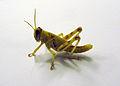 Schistocerca gregaria - less color 2.JPG