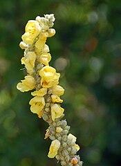 Divozel malokvetý