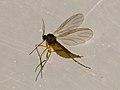 Sciaridae sp. (28406079699).jpg