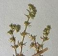 Scleranthus perennis herbarium (04).jpg