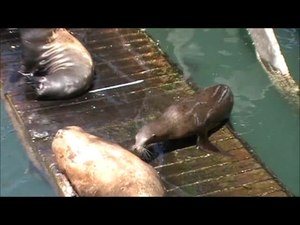 File:Sea Lions in Newport, Oregon.ogv