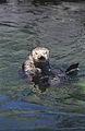 Sea otter(Vancouver Aquarium)05(js).jpg