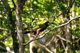 Selenidera spectabilis -Panama-8