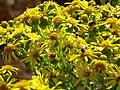 Senecio jacobea FlowersCloseup2 20July2009 SierraMadrona.jpg