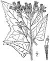 Senecio suaveolens BB-1913.png