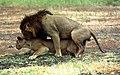 Serengeti lion.jpg