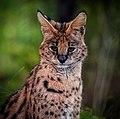 Serval (35769770042).jpg
