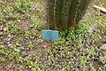 Ses Salines - Botanicactus - Echinopsis atacamensis 01 ies.jpg