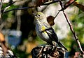 Setophaga auduboni 6.jpg