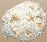Haizahn shark teeth