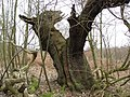 Sherwood Forest - Unusual Tree Shape - geograph.org.uk - 729957.jpg