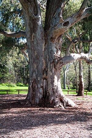 Warriparinga - A scarred tree at Warriparinga. Bark was removed to produce a shield or tray.