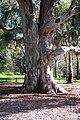 Shield tree.jpg