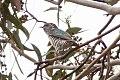 Shining Bronze Cuckoo (Chrysococcyx lucidus) (8079608572).jpg