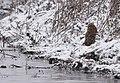 Short-eared Owl (30928839977).jpg