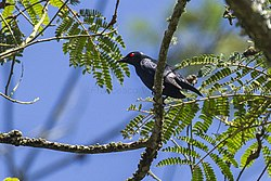 Short-tailed Starling - Bedugul - Bali S4E2720 (29800758816).jpg