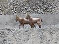 Siberian ibex (Capra sibirica) males (2).jpg