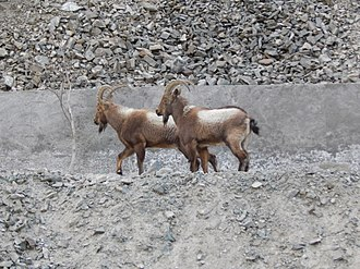 Siberian ibex - Siberian ibex (Capra sibirica) rarely come close to human settlements. This picture was taken near irrigation canal, Indus river.