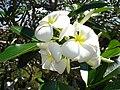 Singapore frangipani (Plumeria obtusa) flowers.jpg