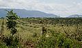 Sisal crops in Tanzania.jpg