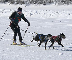 Skijor Racing with dogs