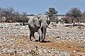 Slon směřující k napajedlu v Okaukuejo, Etosha - Namibie - panoramio.jpg