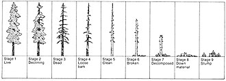Snag (ecology) - Successional stages of a snag from death of a tree to final decomposition.