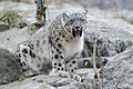 Snow Leopard Making Funny Face (15657603720).jpg