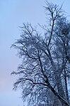 Snowy tree in Lucerne 20100131-DSC 2322 (4872711008).jpg