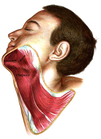 Platysma muscle - The platysma is visible, with skin removed.