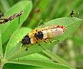 Soldier Beetles mating. Cantharidae ? (48607514071).jpg