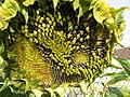 Sonnenblume, reife Kerne schon von Vögeln gefressen, 22.08.2012. - panoramio.jpg