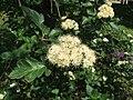 Sorbus borbasii (inflorescence).jpg