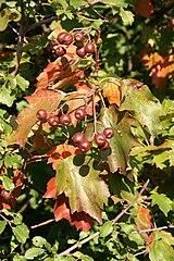 Jarabina brekyňová - plody