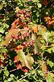 Sorbus torminalis Weinsberg 20070929 7.jpg