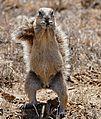 South African Ground Squirrel (Xerus inauris) female (32469919771).jpg