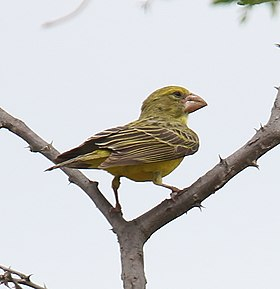 Southern Grosbeak-Canary (Crithagra buchanani).jpg