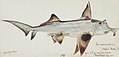 Southern Pacific fishes illustrations by F.E. Clarke 2.jpg