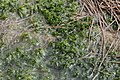 Sphagnum cuspidatum (c, 150948-474700) 4719.JPG