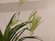 A picture of a spider plant's plantlets and budding flowers.