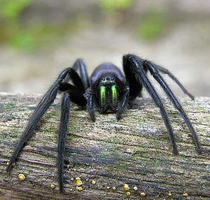 Segestria florentina - Image: Spider cutted