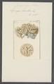 Spongia lamellosa - - Print - Iconographia Zoologica - Special Collections University of Amsterdam - UBAINV0274 112 04 0006.tif